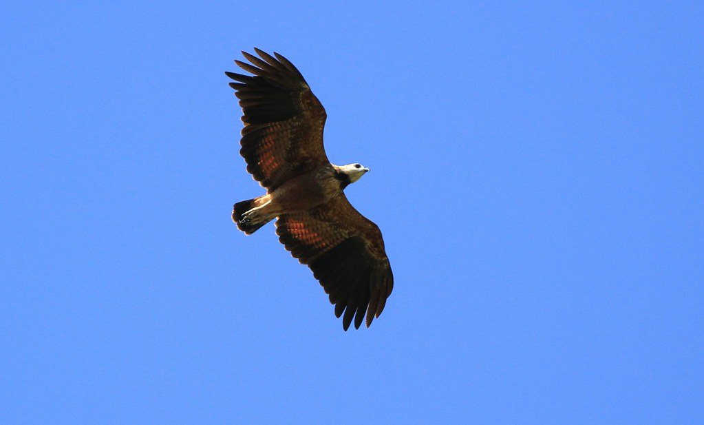 Black-collared Hawk / Buse à tête blanche Serie 2 / 2 ( Diane )