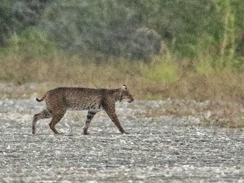 Bobcat 03-20200414