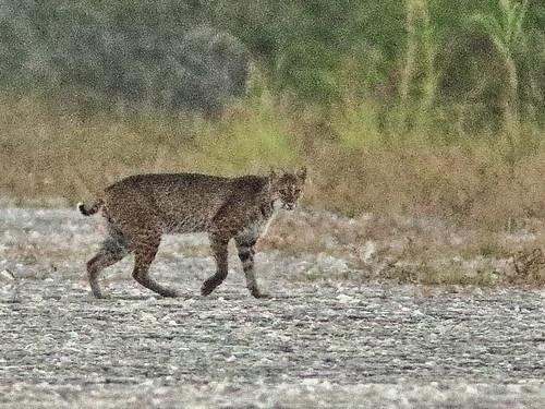 Bobcat 04-20200414