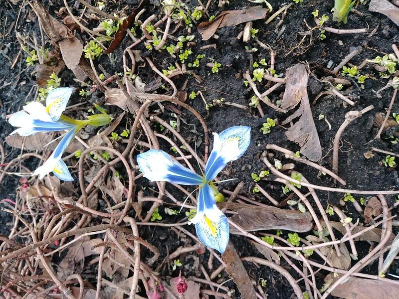 Iris reticulata - Page 6 49773710048_7da470e4af_c