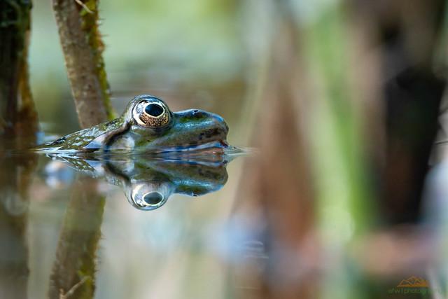 Bokeh Frosch, Spiegelung