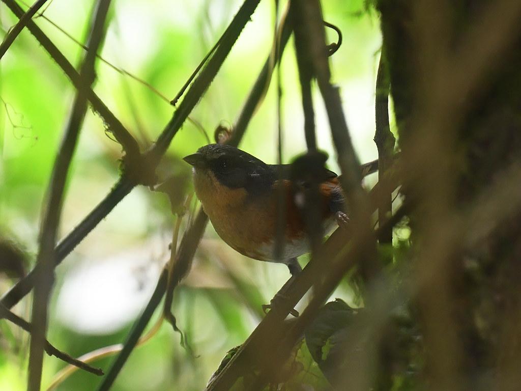 Buff-throated Warbling Finch