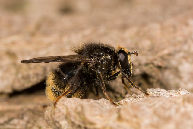 Hoverfly (Criorhina ranunculi, f)