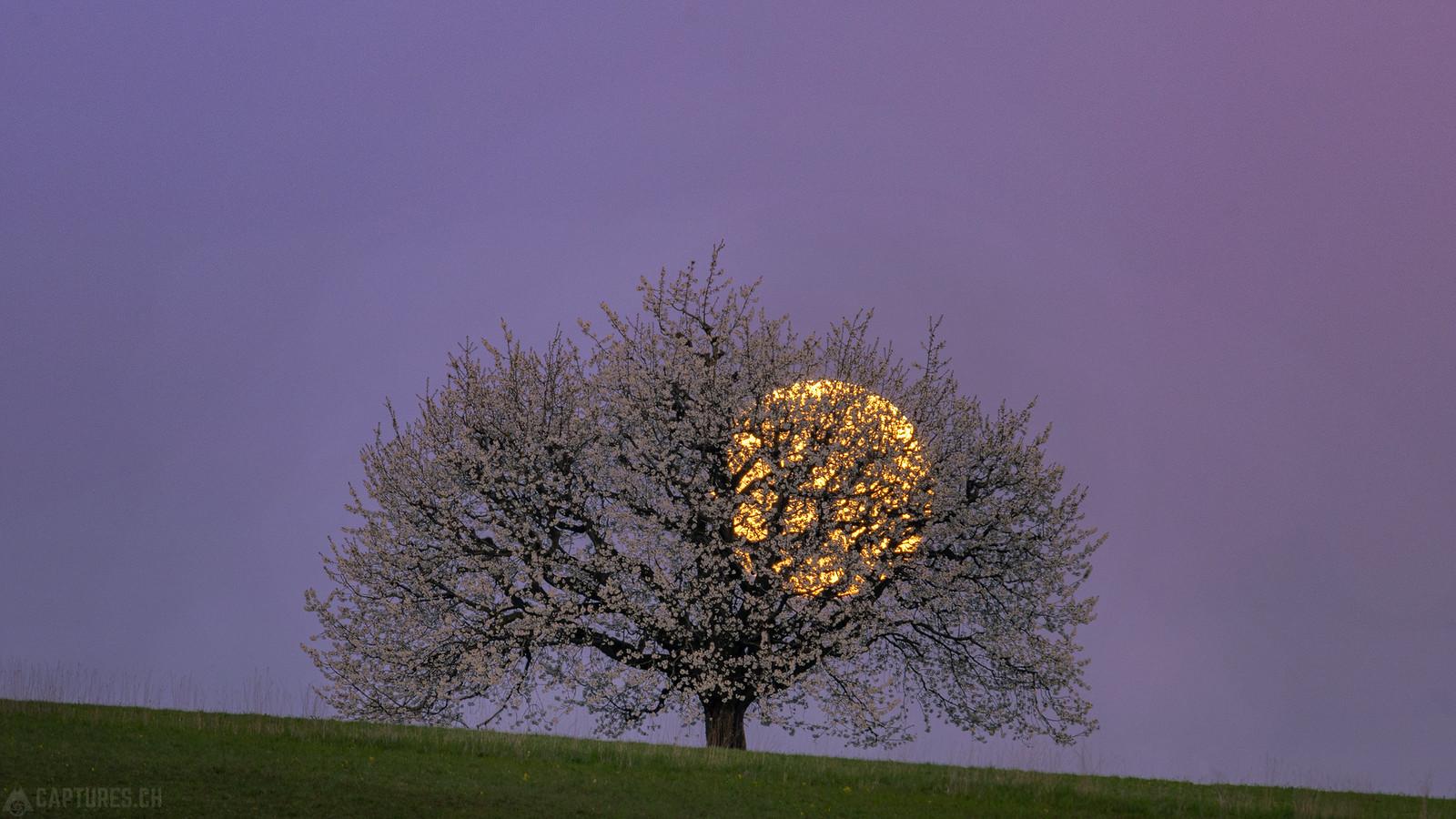 Monn behind the cherry tree - Buus