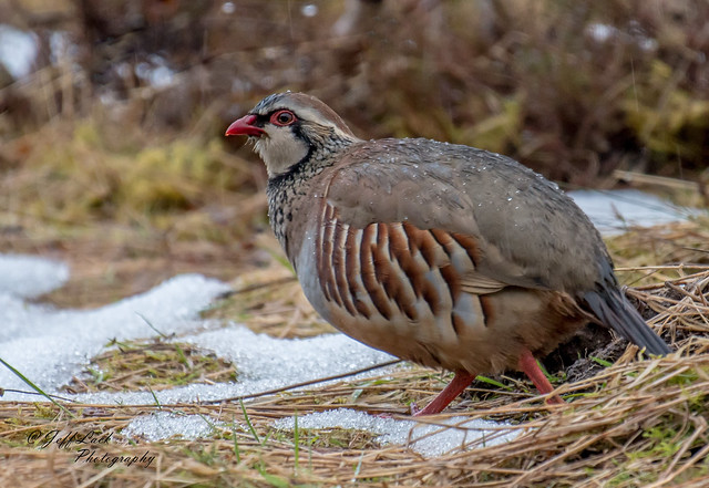DSC7862  Red legged Partridge..