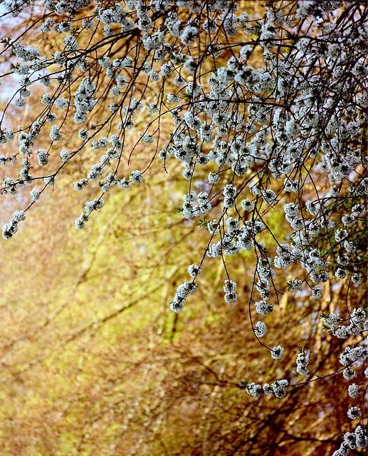Kirschblüten am Waldrand