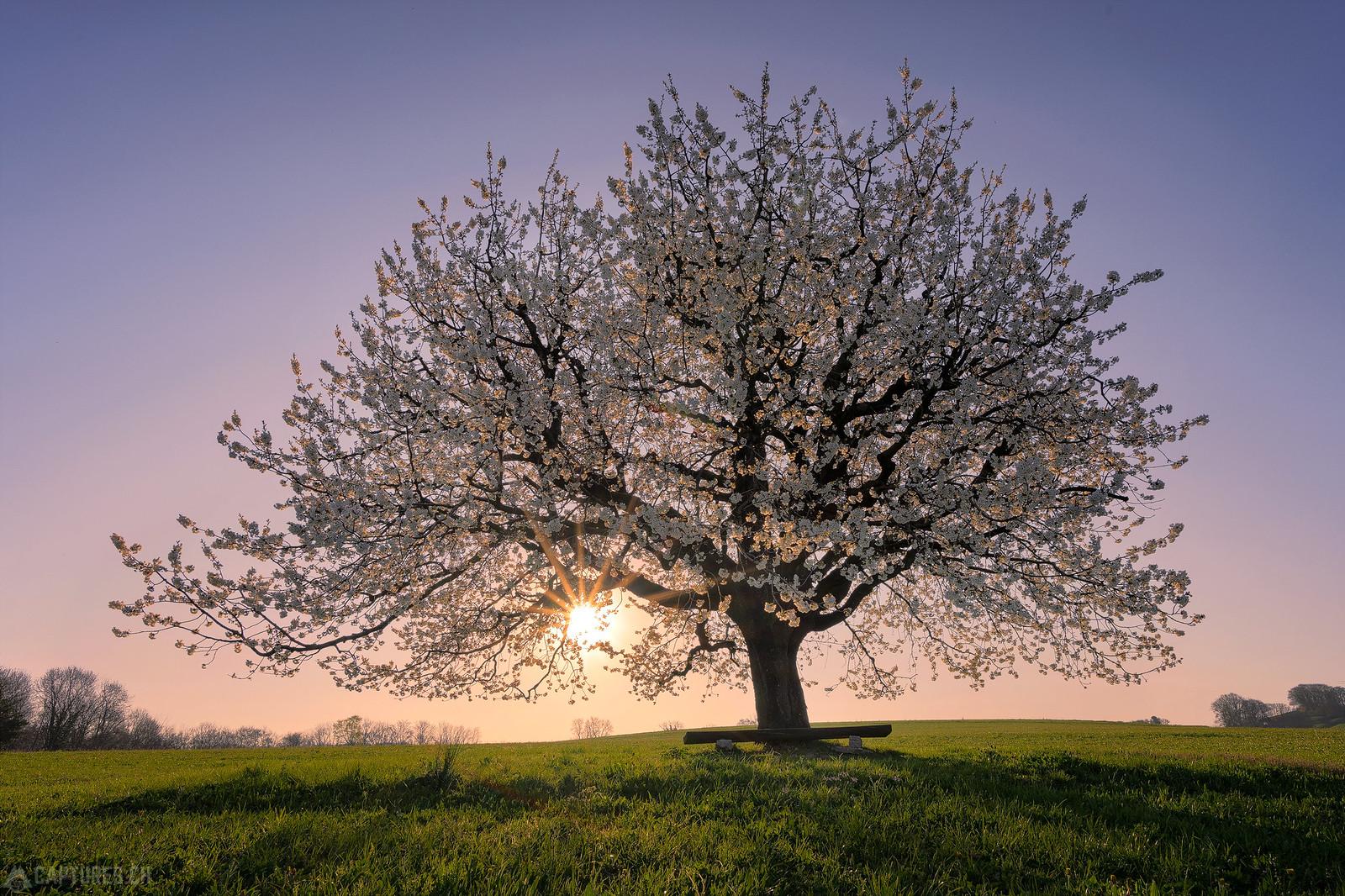 Sun in the tree - Buus