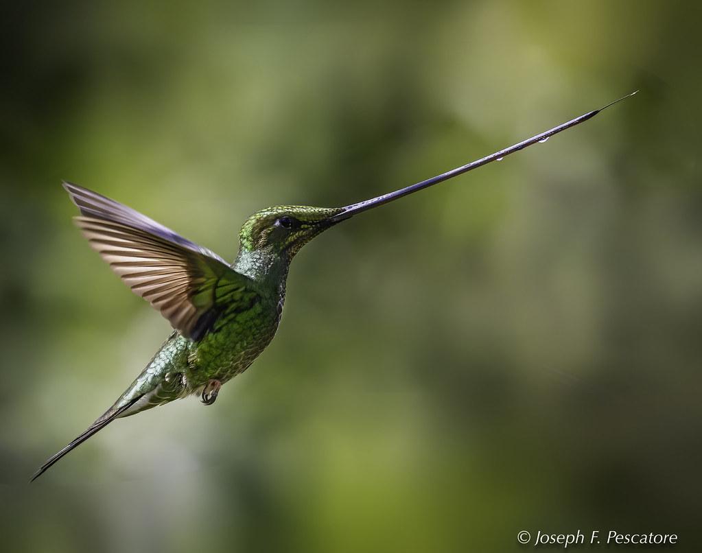 Sword-billed Hummingbird (Ensifera ensifera) - San Jorge Tandayapa, Ecuador