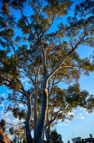 luminosity7 nikond850 launceston tasmania australia covid19 covertphotosdiary treeoflife australiangumtree eucalyptus johnglover17671849 healingpropertiesofeucalypts