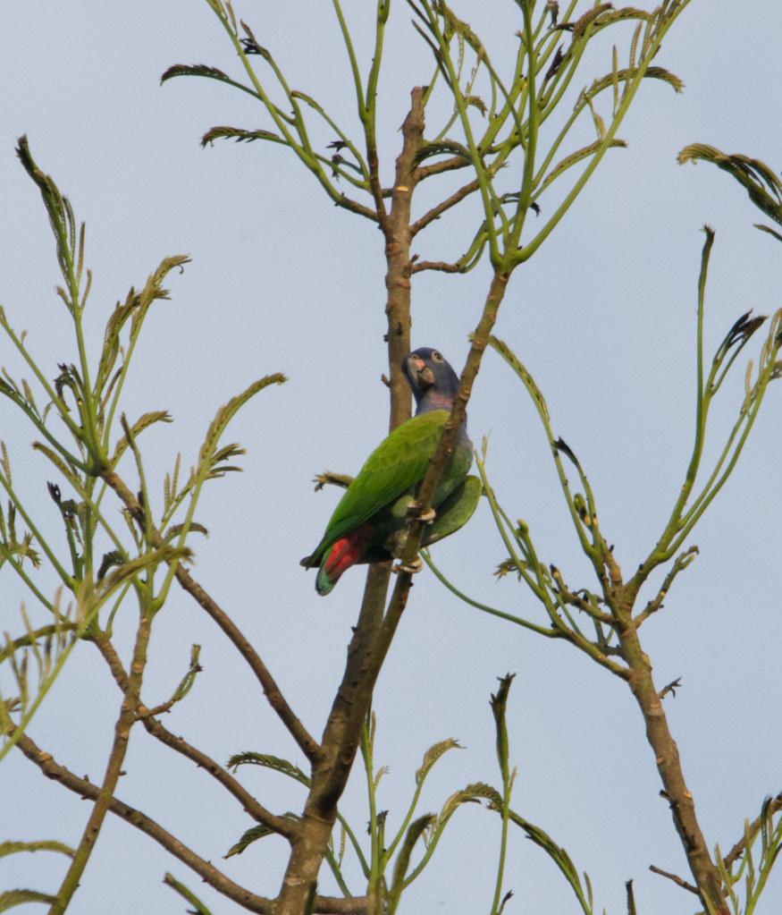 Loro de cabeza azul, Blue-headed parrot, Pionus menstruus. Moyobamba, San Martin, Peru