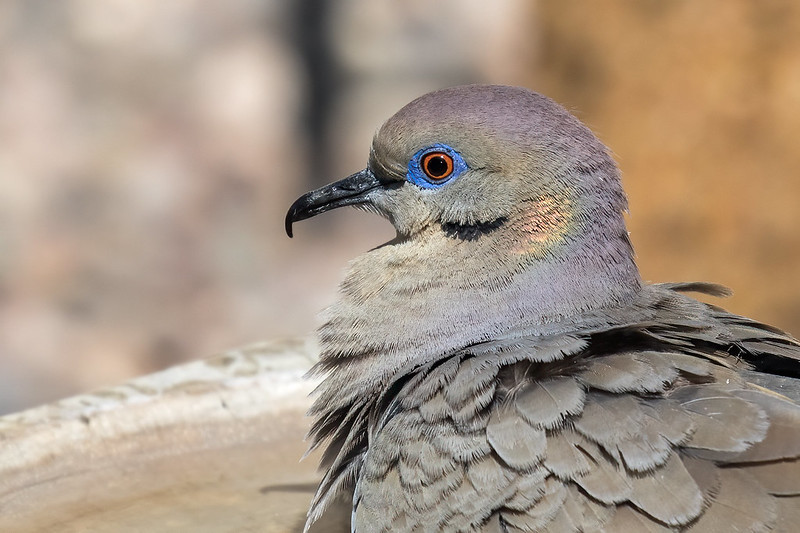 White-wing-Dove-6-7D2-040220