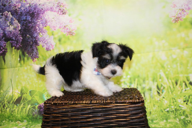 1 Bacon Male CKC Havanese 1lb 11oz 7W3D old (13)