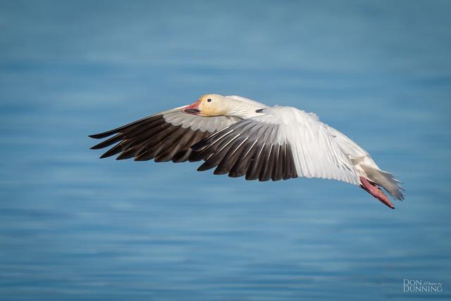 Lesser Snow Goose (Anser caerulescens caerulescens)