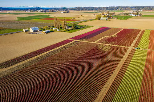 skagitvalley skagit valley skagitcounty farm farmland flowers drone aerial olympicmountains grow growing blossoms barn pacificnorthwest mtvernon agriculture agricultural plants buildings overhead sky spring springtime season edmundlowephotography edmundlowe edlowe america usa rows pattern graphic color colorful allmyphotographsare©copyrightedandallrightsreservednoneofthesephotosmaybereproducedandorusedinanyformofpublicationprintortheinternetwithoutmywrittenpermission nopeople