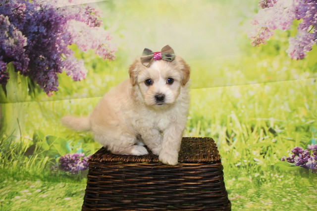 1 Dior Female CKC Malshipoo 1lb 15oz 5W4D old (3)