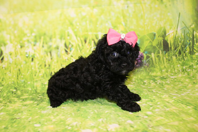 1 Tiffany Female CKC Malshipoo1lb 15oz 5W4D old (25)