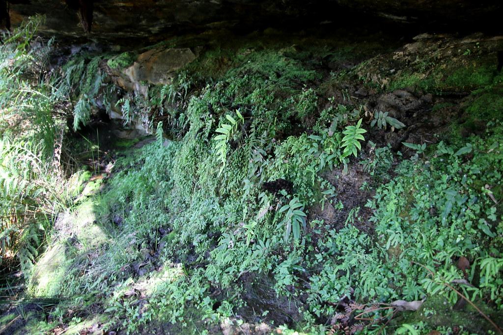 Ferns under a rocky overhang, Parablechnum ambiguum