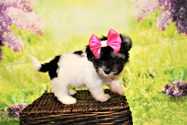 1 Pancake Female CKC Havanese 1lb 6oz 7W3D old (44)