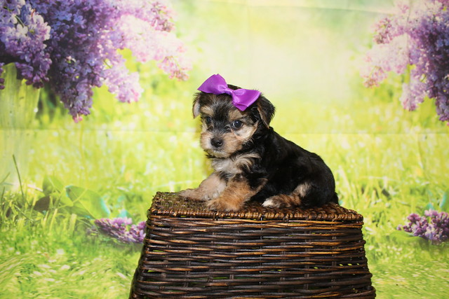2 Luna Female CKC Morkie 1lb 10.5oz 6W1D old (37)