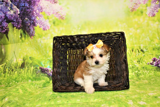 1 Myka Female CKC Morkie 1lb 9oz 6W1D old (34)