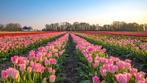 golden hour sunset tulip fields field tulpenfeld francken franken tulpen tulpenhof kapellen grevenbroich nrw tulpe 28mm leica m10 summicron april 2020 spring frühling