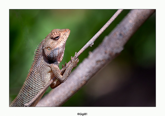 Agame variable (Calotes versicolor)