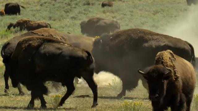 Bisontes en Yellowstone (Estados Unidos)