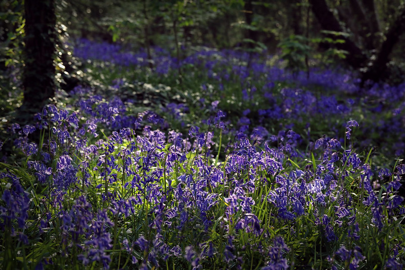 Bluebells and patchy sunlight