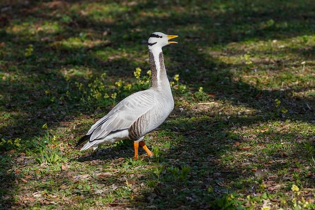 Streifengans / bar-headed goose / Anser indicus