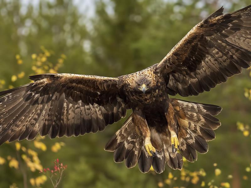 Golden Eagle_JP261151