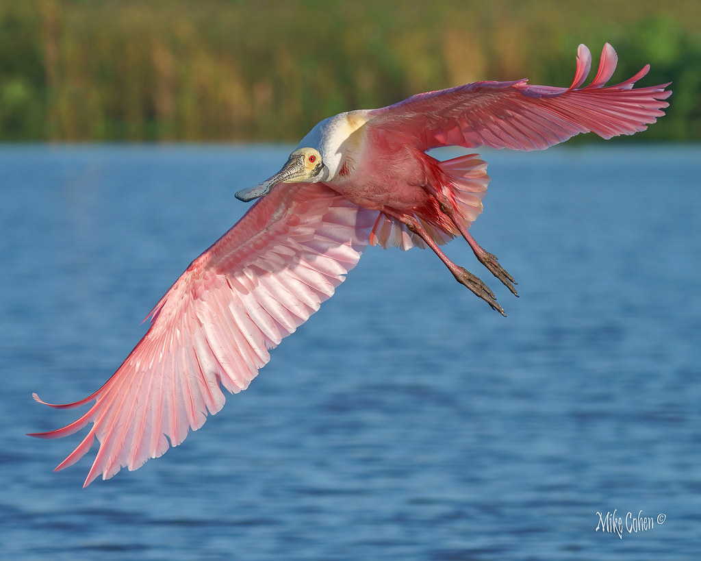 Roseate Spoonbill Showoff