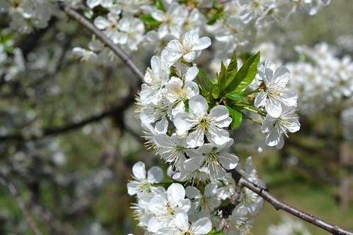 , Flowering tree