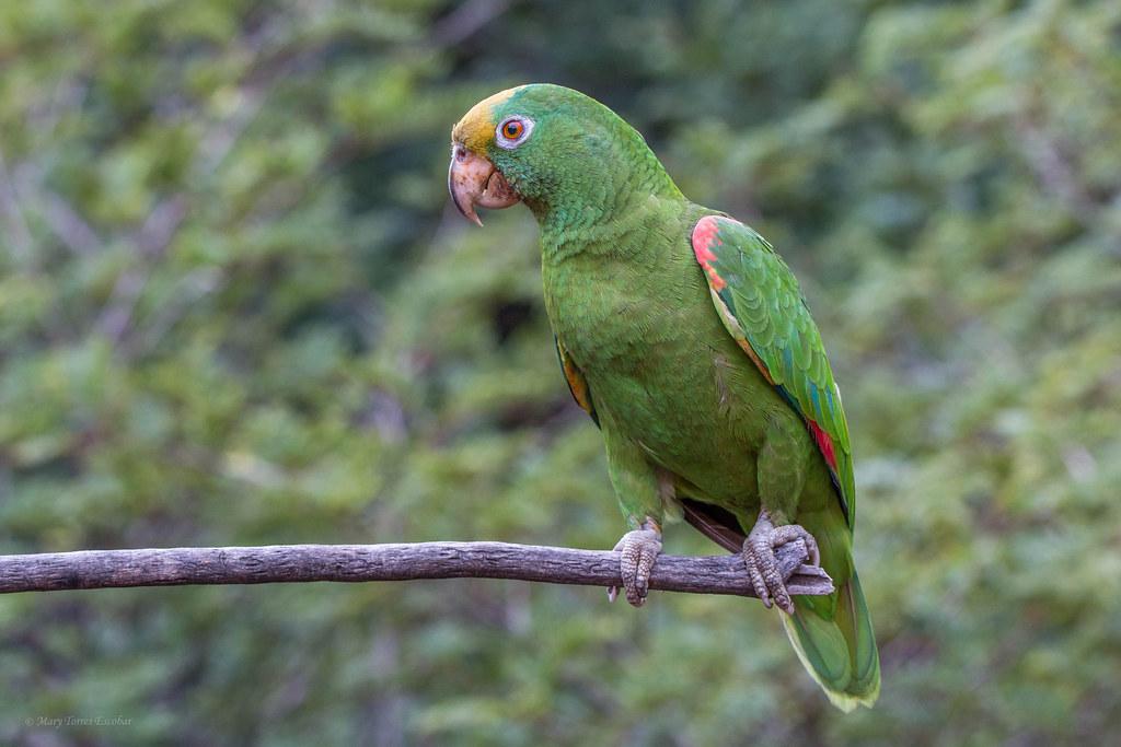 Amazona ochrocephala. (Libre)