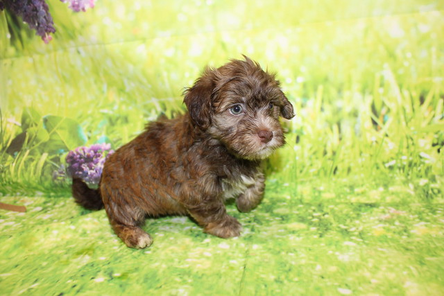1 Reed Male CKC Havanese 2lbs 10.5oz 5W4D old (28)