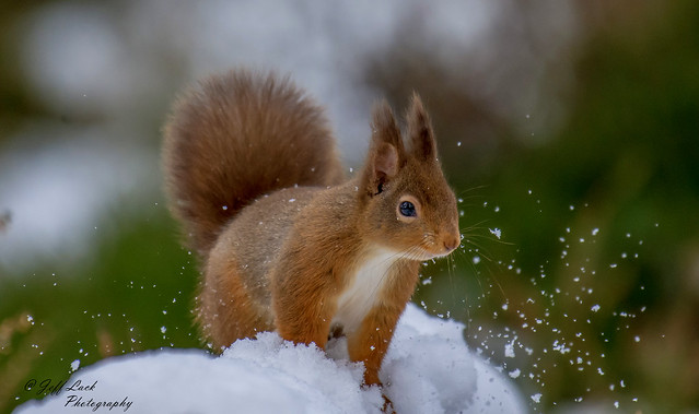 JWL4290  Red Squirrel..