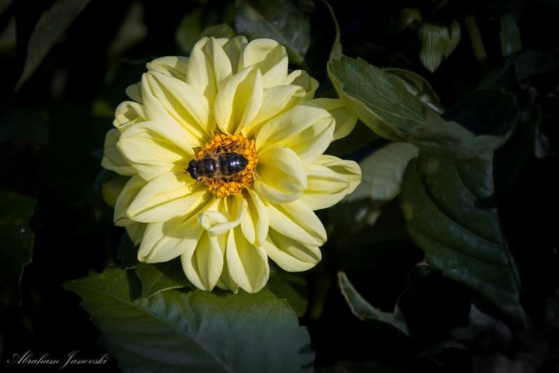 Flor Amarilla con Abeja