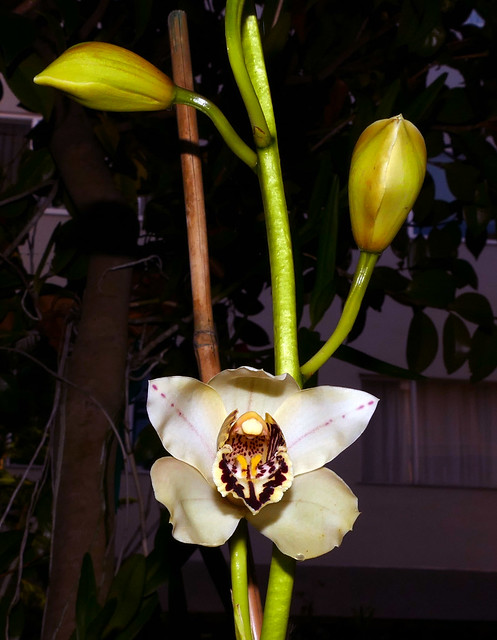 Cymbidium Memoria Jerry Garcia hybrid orchid