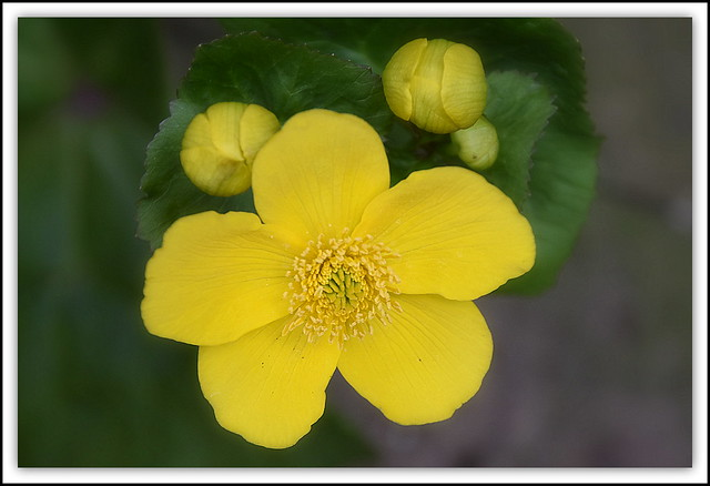 Flower Of The Day - Common (Meadow) Buttercup