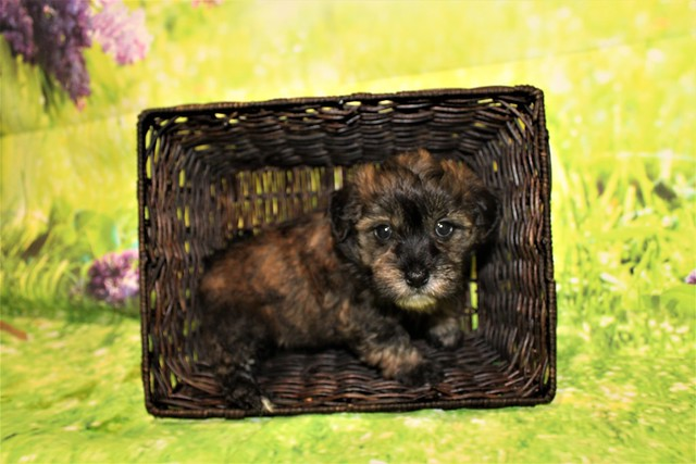 1 Rory (Finn) Male CKC Havanese 2lbs 5.5oz 5W4D old (22)