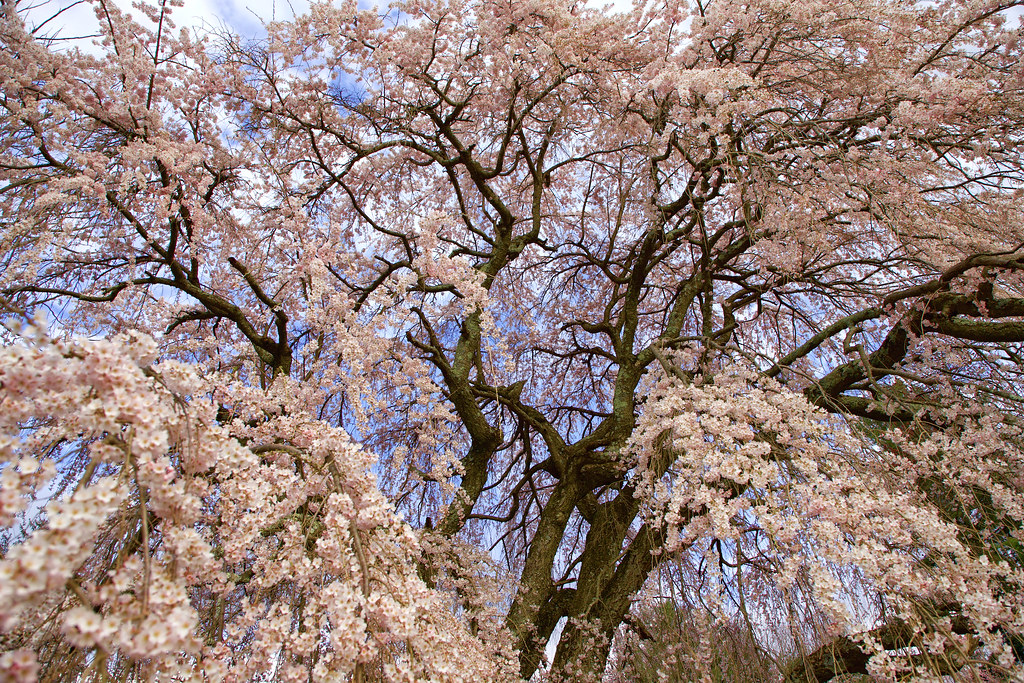 11 Best Spots To See Cherry Blossoms In New Jersey New Jersey Digest Magazine