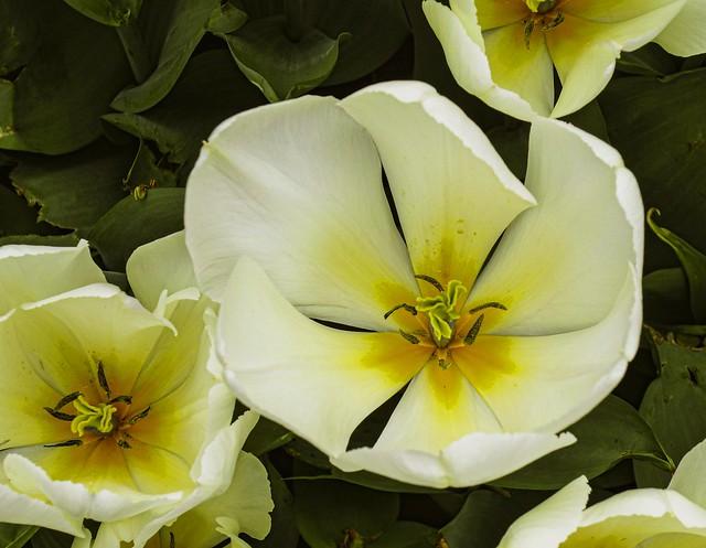 City Flowers - Daffodils