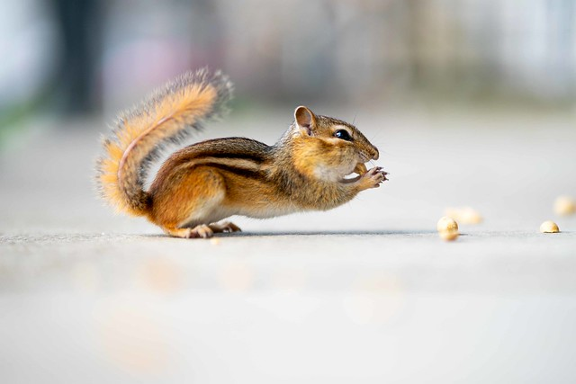 Well Balanced Eating by this Chipmunk
