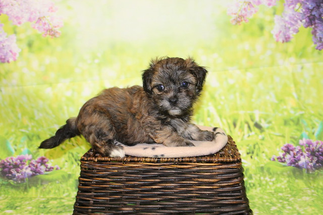 1 Rudy Male CKC Havanese 1lb 15oz 5W4D old (6)