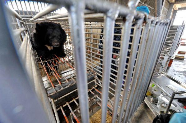 為取黑熊膽汁而設立的養殖設施。 圖片來源:章軻/提供