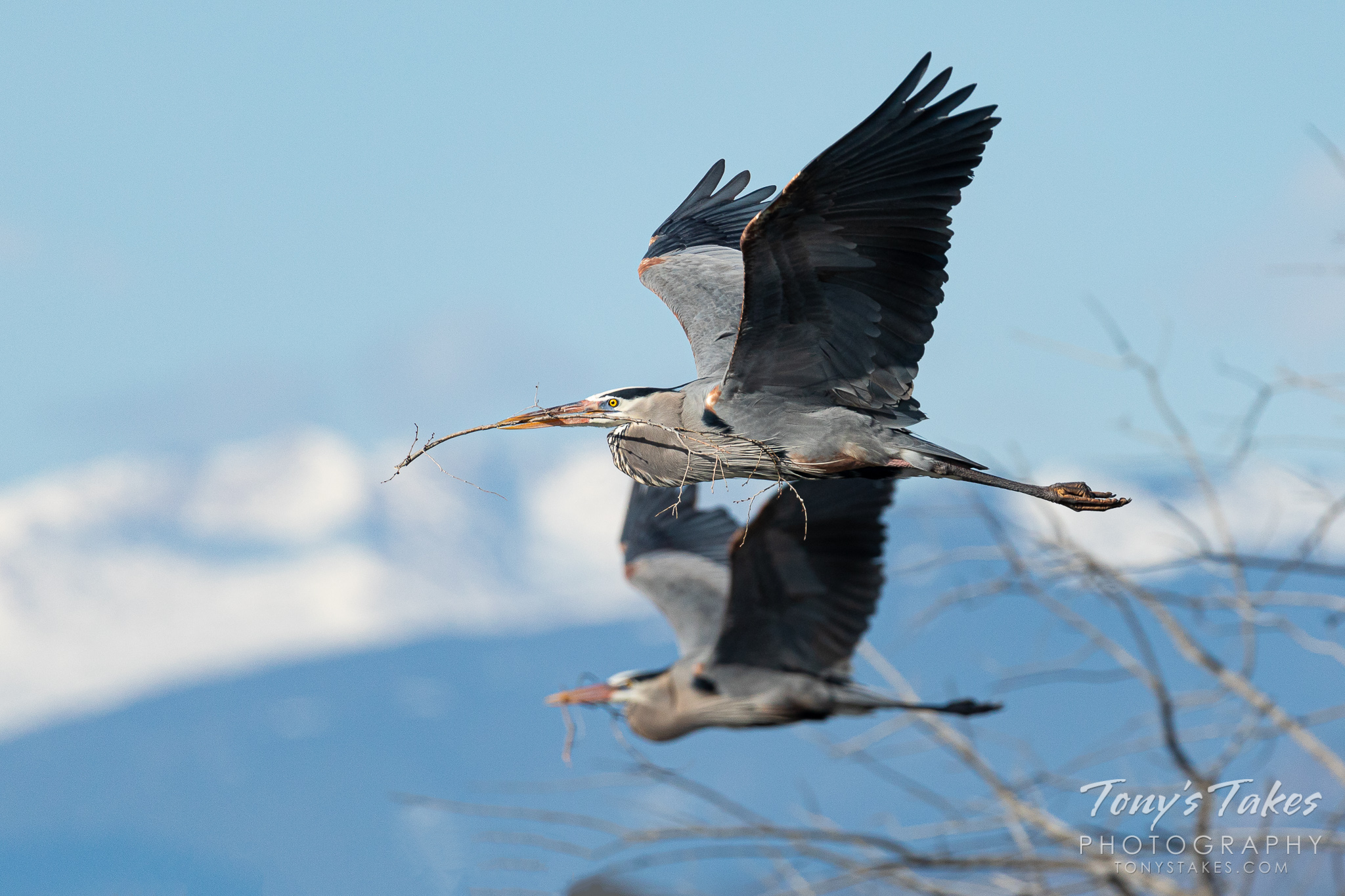 Great blue herons race back to their nests with sticks. (© Tony's Takes)