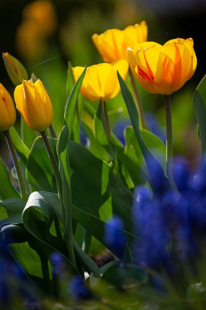 Sun makes the tulips shine