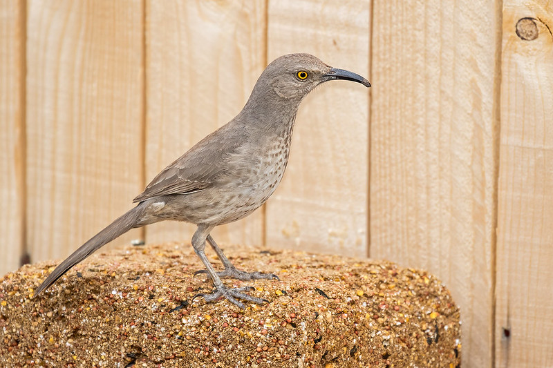 Curve-billed-Thrasher-12-7D2-040320