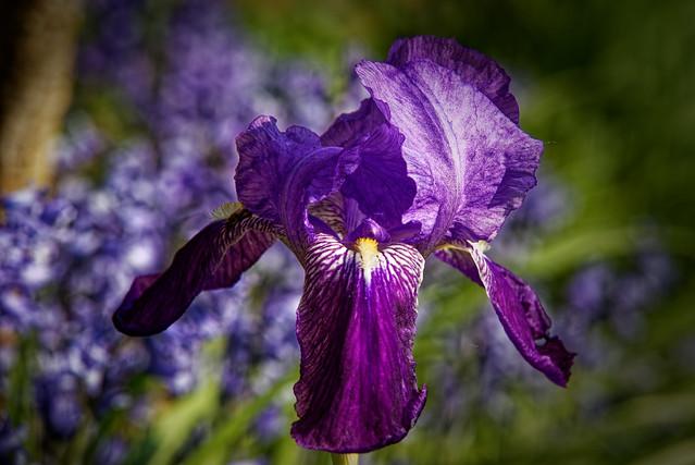 Iris, pacem, non parabellum