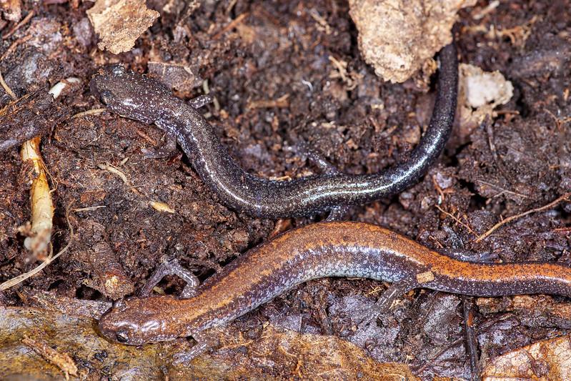 Red-backed salamander (Plethodon cinereus) Redback & Leadback phases
