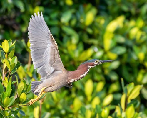 outdoor dennis adair nature wildlife 7dm2 7d ii ef100400mm canon florida bird flight